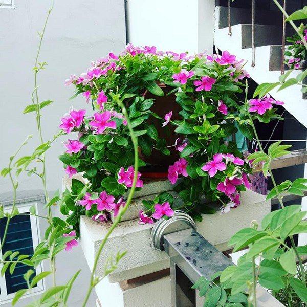 Trồng 2 loại hoa này mỗi năm có 300 ngày ngắm, dễ trồng và đẹp, nở rộ như biển hoa-3