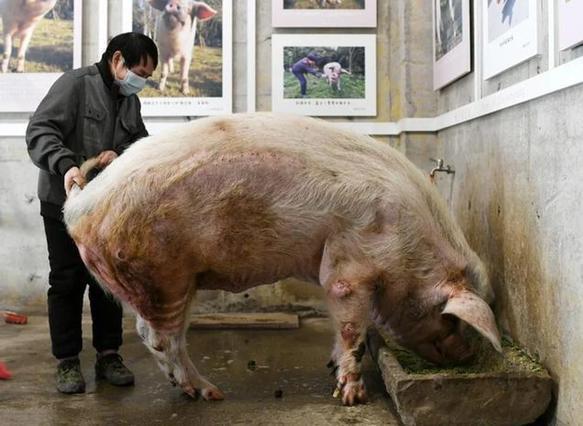 Trư Kiên Cường - con heo nổi tiếng nhất Trung Quốc vừa qua đời-4