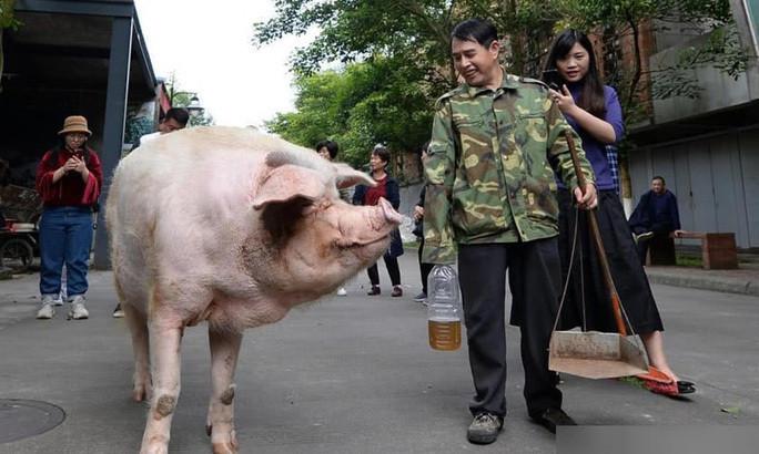 Trư Kiên Cường - con heo nổi tiếng nhất Trung Quốc vừa qua đời-3