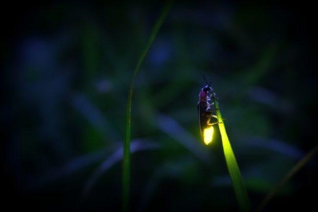 Kỳ lạ những loài sinh vật có thể phát sáng trong tự nhiên-2