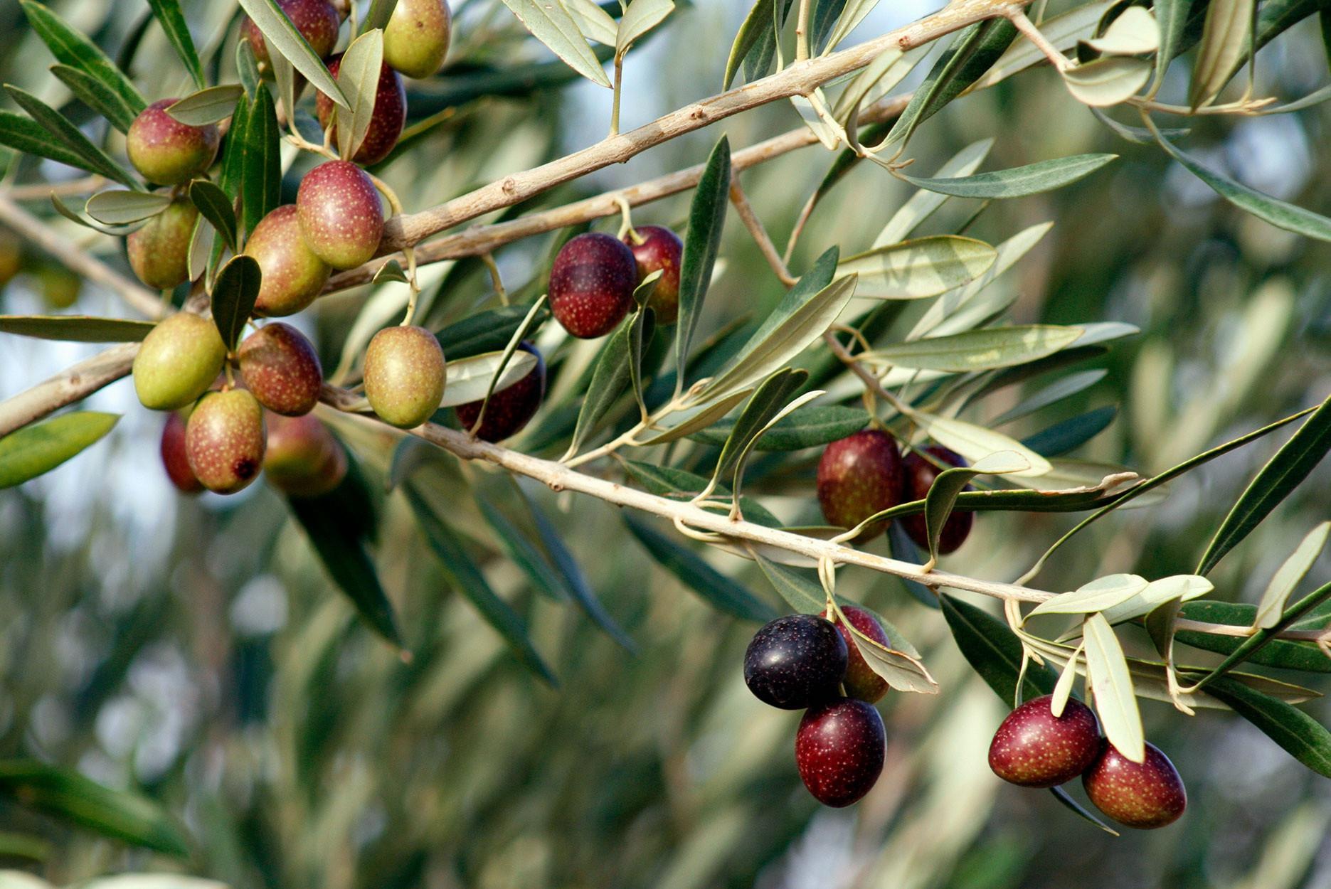 Những cây olive nghìn năm hình dáng kỳ quái-8