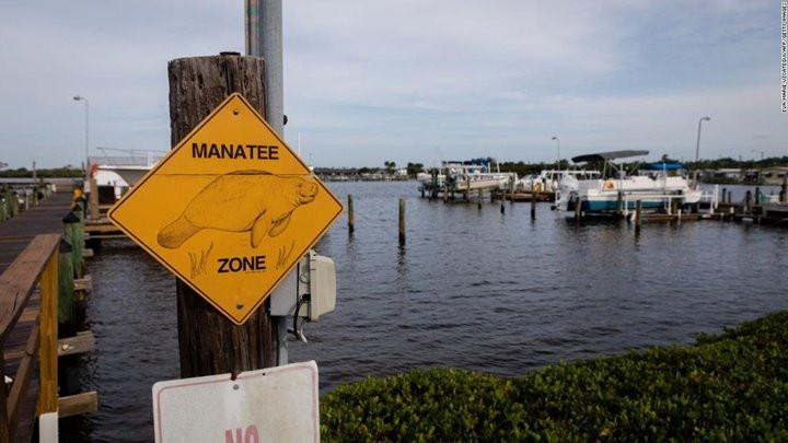 Tình trạng lợn biển chết hàng loạt ở Florida chỉ ra hàng loạt vấn đề về môi trường sống tại đây-3