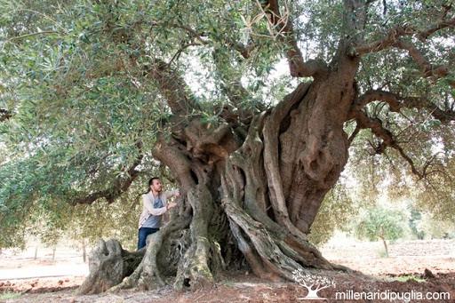 Những cây olive nghìn năm hình dáng kỳ quái-5