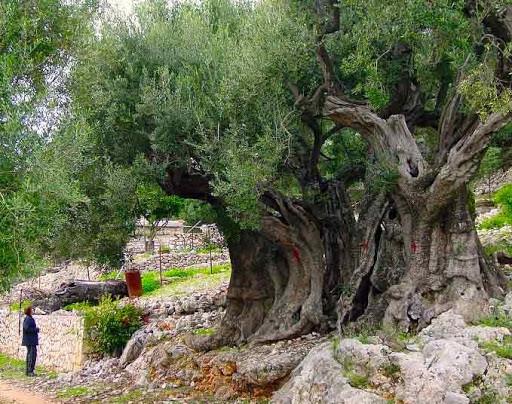 Những cây olive nghìn năm hình dáng kỳ quái-7