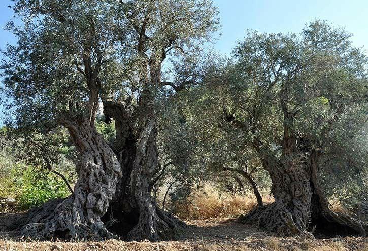 Những cây olive nghìn năm hình dáng kỳ quái-4
