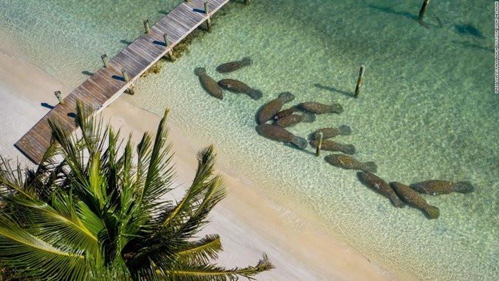 Tình trạng lợn biển chết hàng loạt ở Florida chỉ ra hàng loạt vấn đề về môi trường sống tại đây-4