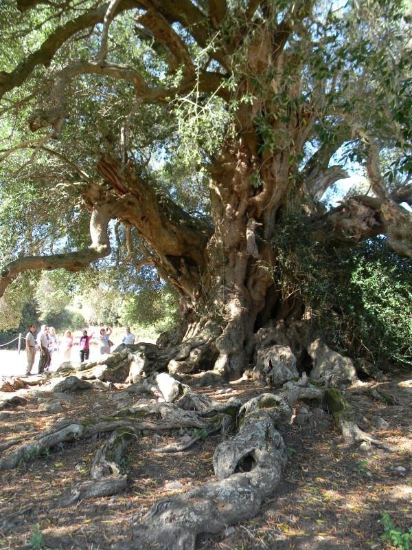 Những cây olive nghìn năm hình dáng kỳ quái-1