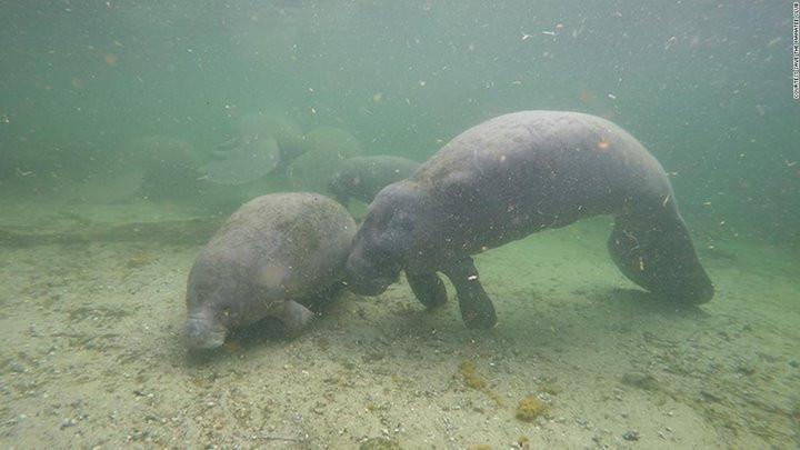 Tình trạng lợn biển chết hàng loạt ở Florida chỉ ra hàng loạt vấn đề về môi trường sống tại đây-2