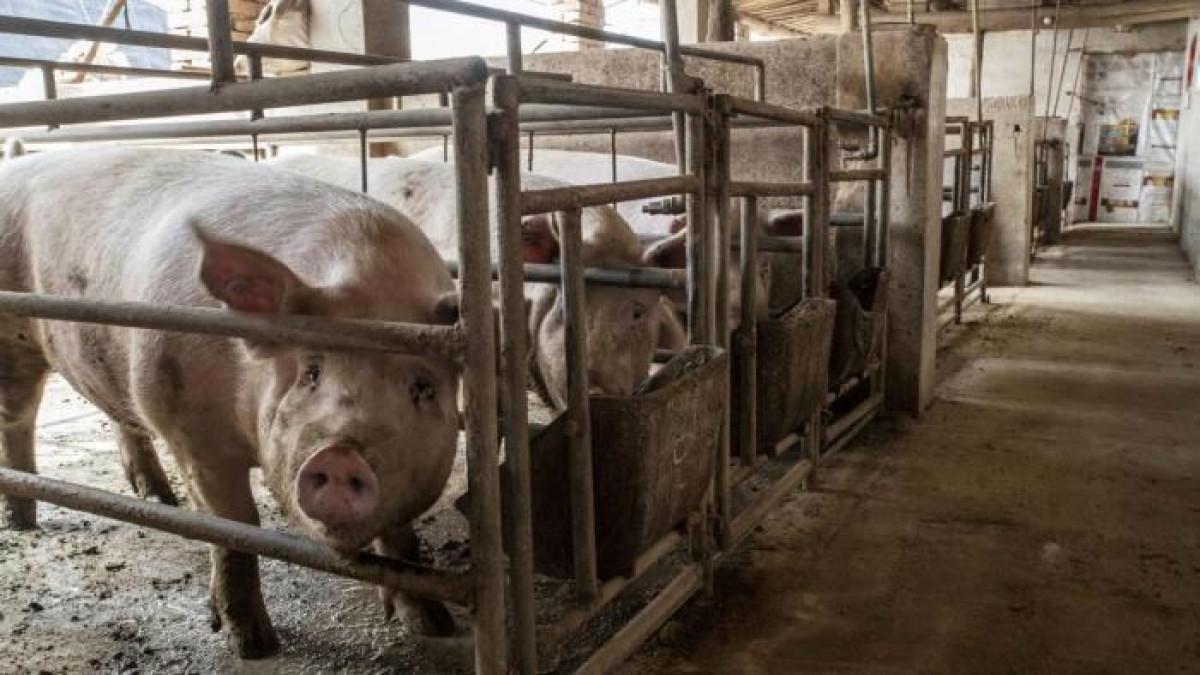 Trung Quốc đối mặt khủng hoảng thừa thịt lợn, giá giảm một nửa trong 6 tháng-1