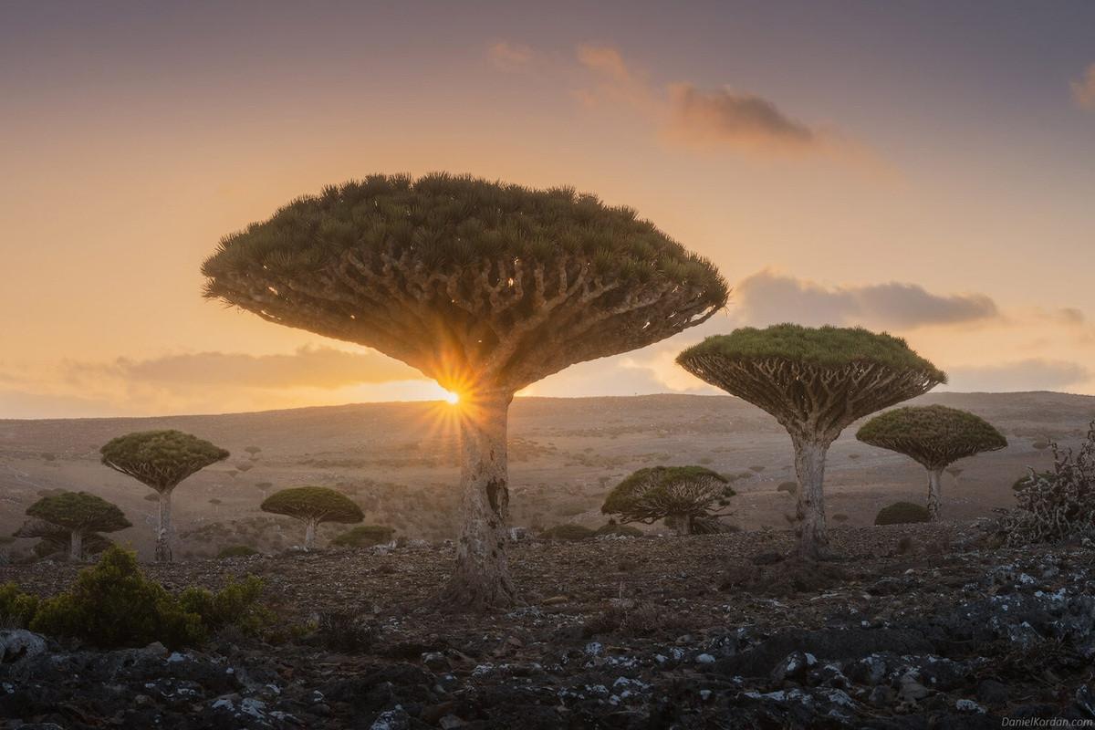 Kỳ lạ loài cây trăm tuổi có rễ mọc ngược ở hòn đảo ngoài hành tinh-1