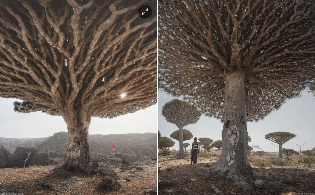 Kỳ lạ loài cây trăm tuổi có rễ mọc ngược ở hòn đảo ngoài hành tinh-3