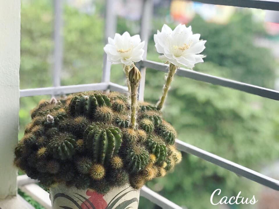 Vì sao cây xương rồng không lá, nhưng vẫn nở hoa cực đẹp?-1