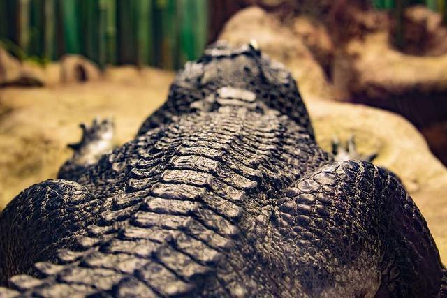 Quái vật Gustave - con cá sấu khổng lồ chuyên thích ăn thịt người-1