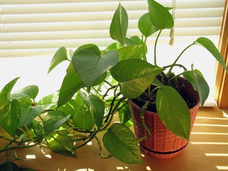 Top 8 cây trồng cho nhà nhỏ, có tác dụng thải độc thần kỳ-4