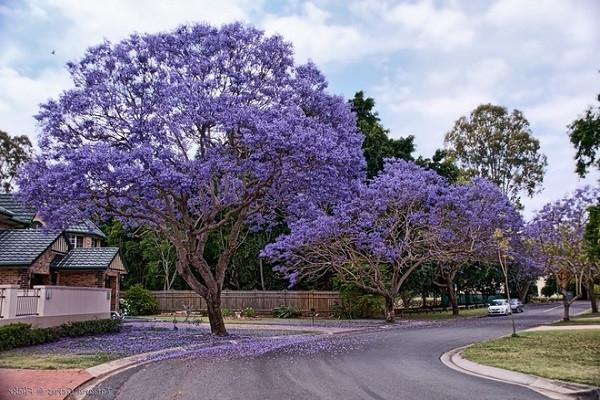 7 cây bóng mát nên trồng trước nhà, dễ trồng và chăm sóc hiện nay-7