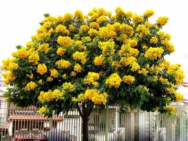 7 cây bóng mát nên trồng trước nhà, dễ trồng và chăm sóc hiện nay-3