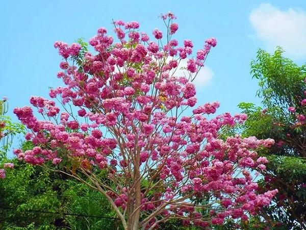 7 cây bóng mát nên trồng trước nhà, dễ trồng và chăm sóc hiện nay-1