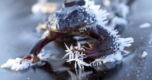 Kỳ lạ loài ếch hóa đá vào mùa đông, mùa xuân sống lại-2