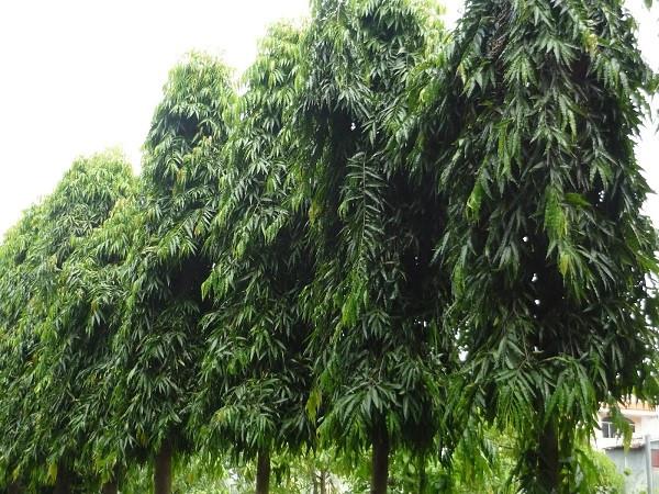 7 cây bóng mát nên trồng trước nhà, dễ trồng và chăm sóc hiện nay-8