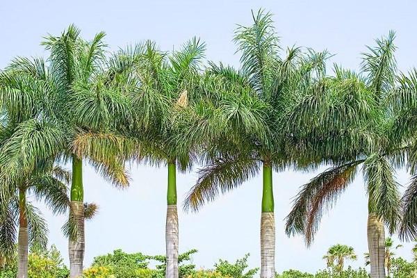 7 cây bóng mát nên trồng trước nhà, dễ trồng và chăm sóc hiện nay-5