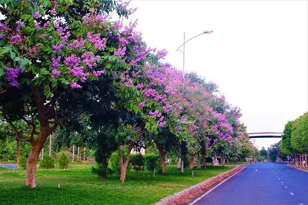 7 cây bóng mát nên trồng trước nhà, dễ trồng và chăm sóc hiện nay-4