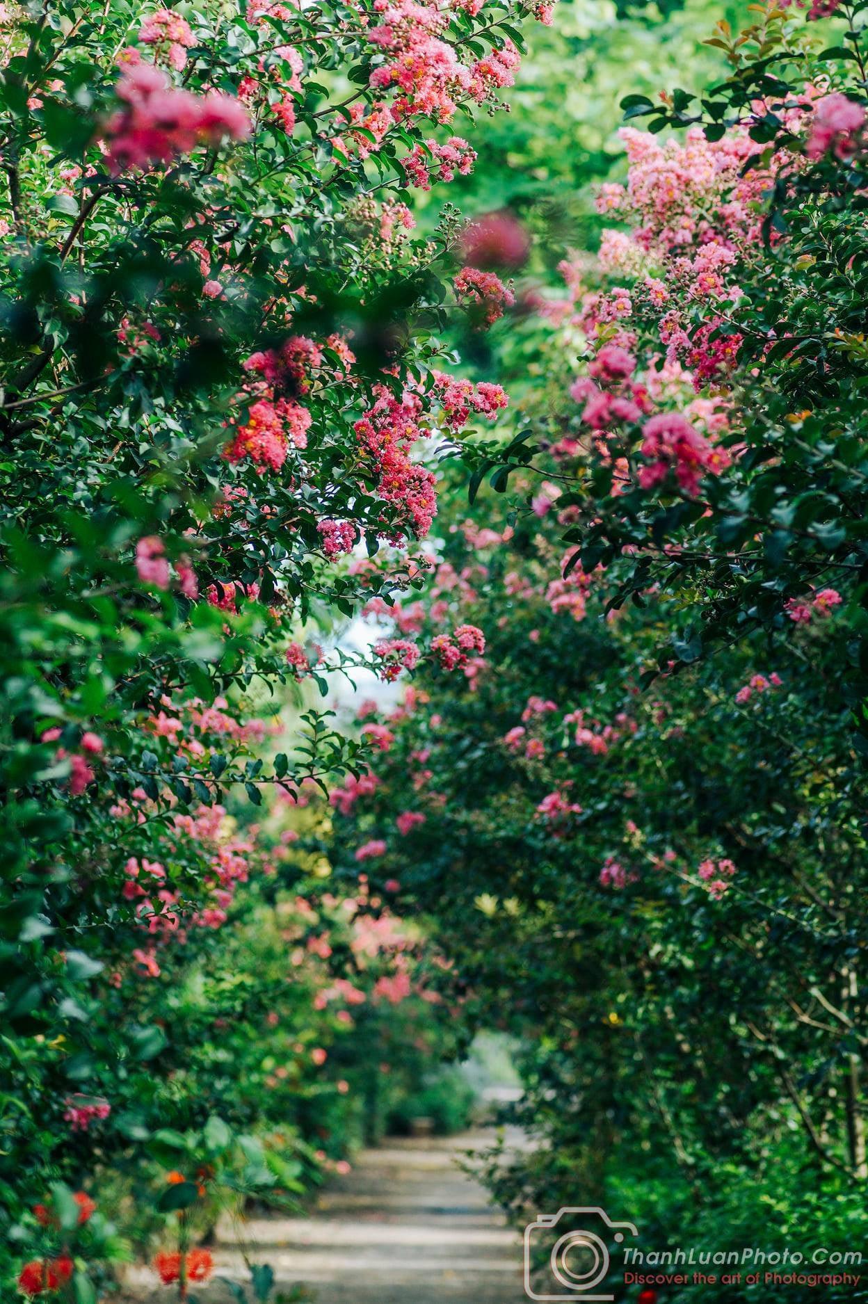 Mê mẩn đường hoa tường vi, đẹp tựa vườn thượng uyển ở trời Âu - 10