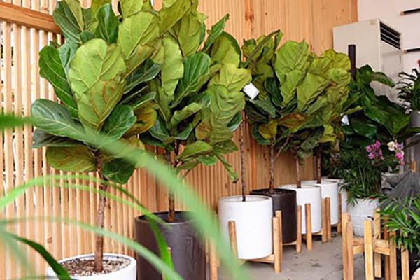 5 loại cây cảnh kích thước lớn mang lại may mắn nên trồng trong nhà