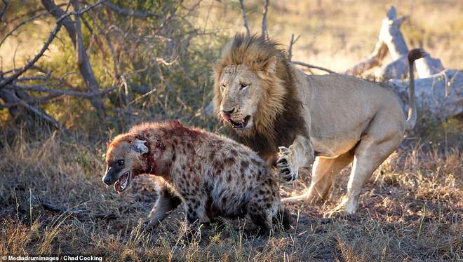 Linh cẩu con liều chết, ngang nhiên áp sát hung thần sư tử: Nhà khoa học mổ não linh cẩu mới hiểu lý do vì sao - Ảnh 4.