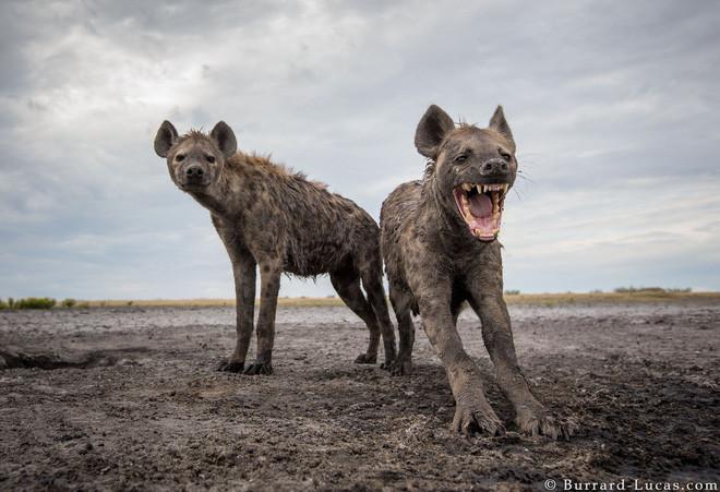 Linh cẩu con liều chết, ngang nhiên áp sát hung thần sư tử: Nhà khoa học mổ não linh cẩu mới hiểu lý do vì sao - Ảnh 3.