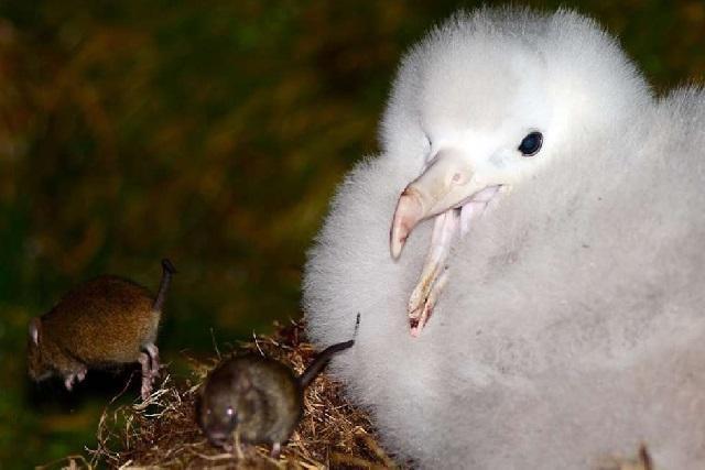 Kinh hoàng chuột hợp thành nhóm đi săn mồi, hung hãn cắn xé, ăn não chim hải âu - Ảnh 1.