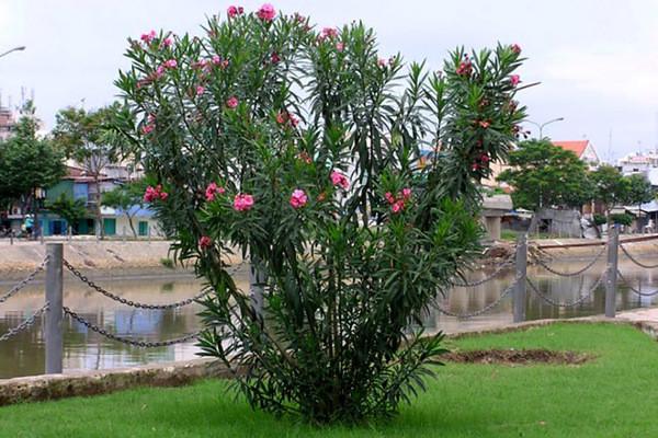 Điểm mặt những cây cảnh dù đẹp cũng không nên trồng trong nhà