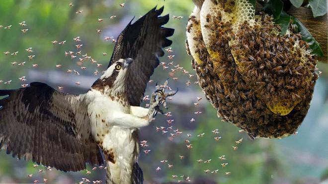 Ong bắp cày khổng lồ cũng khiếp sợ trước loài chim chuyên ăn thịt ấu trùng ong - Ảnh 1.