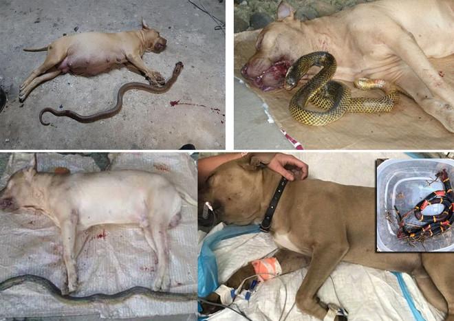 Tại sao khi đối đầu với các loài rắn độc, vua chó chọi Pitbull lại thường thất thế hay bị giết chết? - Ảnh 2.