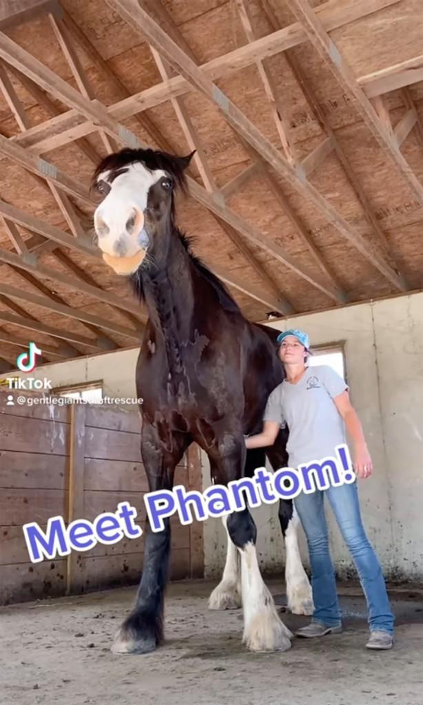 Choáng ngợp với chú ngựa cao hơn 2 mét, người huấn luyện phải vất vả mới trèo lên được - Ảnh 2.