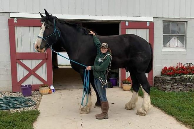 Choáng ngợp với chú ngựa cao hơn 2 mét, người huấn luyện phải vất vả mới trèo lên được - Ảnh 1.