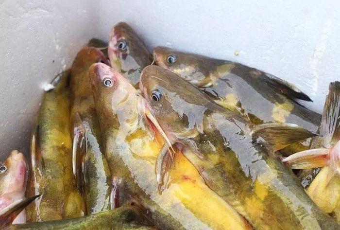Của hiếm sông Đà: Loài cá vàng óng, muốn ăn phải đặt trước nửa năm - 1
