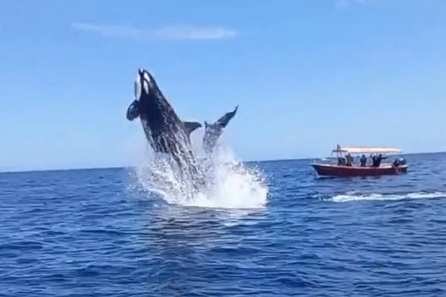Ngoạn mục cảnh cá voi sát thủ hất tung cá heo lên không trung - Ảnh 2.