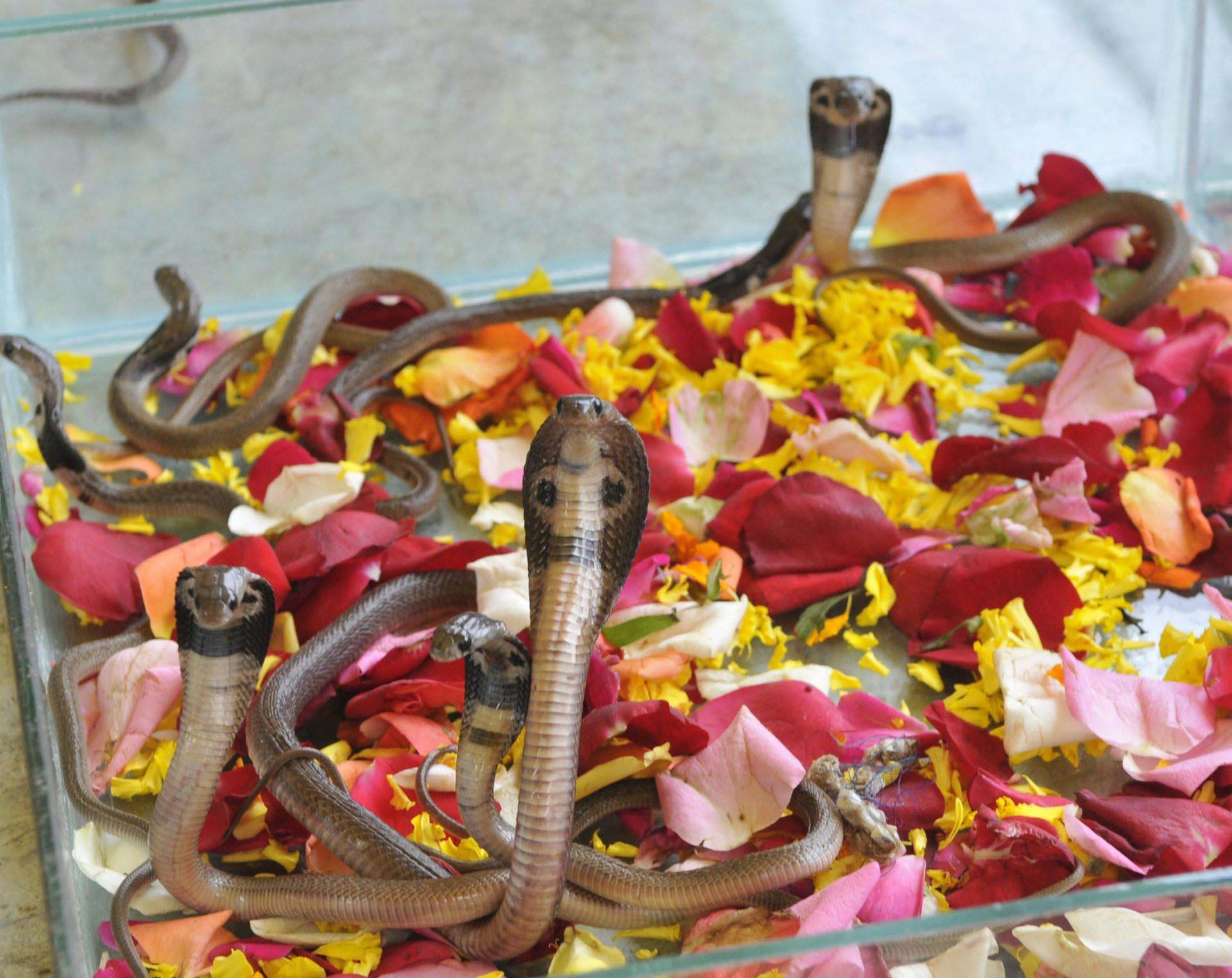 Ấn Độ: Du khách sởn da gà với lễ hội tôn thờ rắn - 3