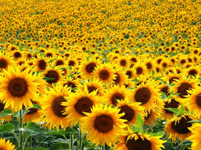 Tại sao các nhà khoa học trồng hoa hướng dương sau thảm họa hạt nhân? - Ảnh 2.