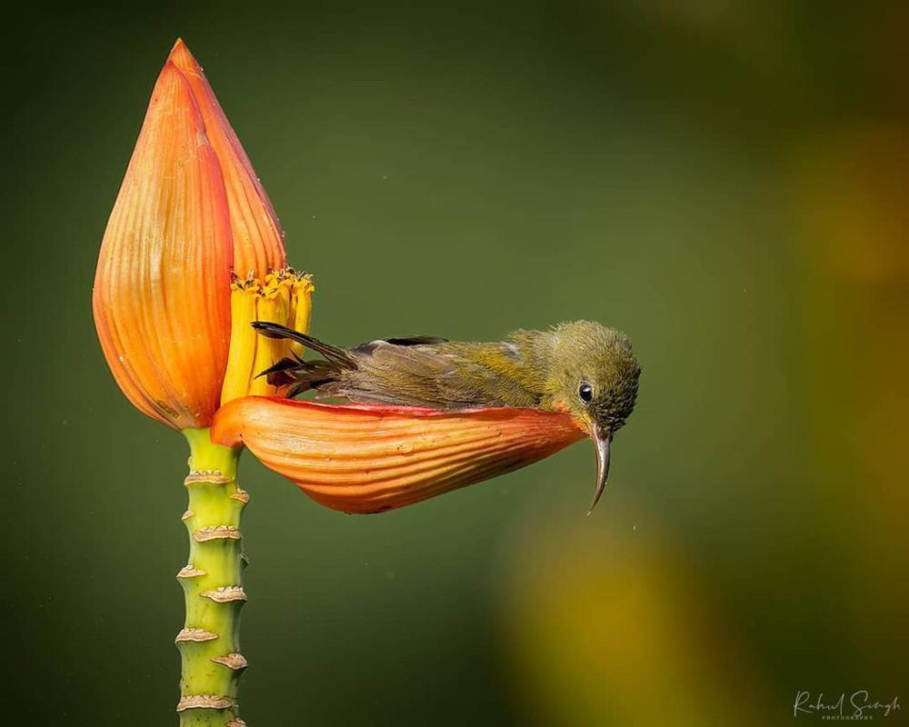 Chim hút mật no nê rồi ngả lưng ngủ trên cánh hoa, khoảnh khắc chỉ có một lần trong đời - Ảnh 6.