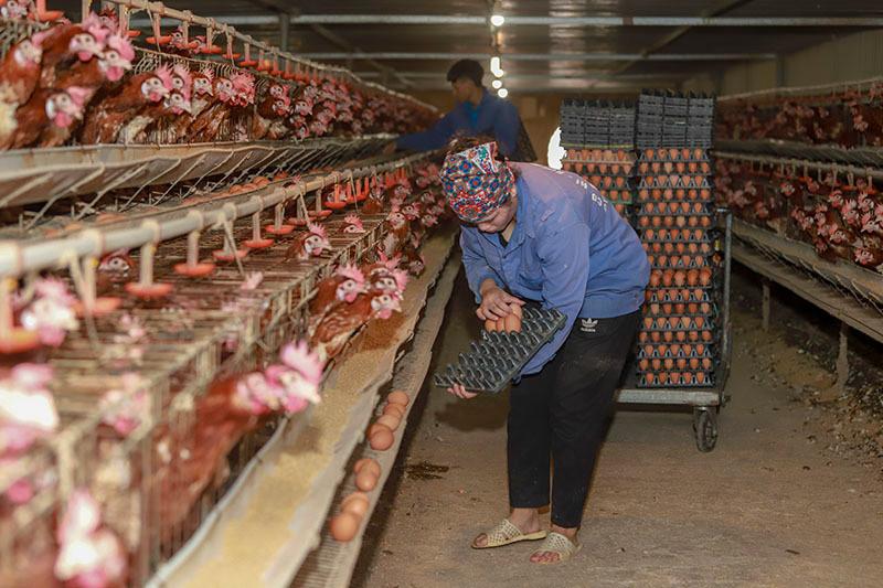 Dân buôn tranh mua, bất ngờ khan hàng, giá trứng tăng cao