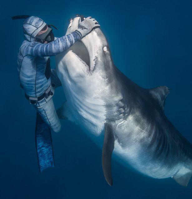 Chùm ảnh: Rùng mình cảnh thợ lặn chơi đùa, âu yếm cá mập hổ khổng lồ  - Ảnh 1.