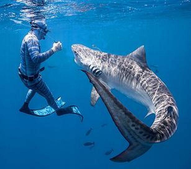 Chùm ảnh: Rùng mình cảnh thợ lặn chơi đùa, âu yếm cá mập hổ khổng lồ  - Ảnh 3.