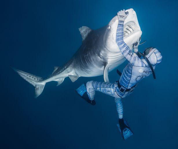 Chùm ảnh: Rùng mình cảnh thợ lặn chơi đùa, âu yếm cá mập hổ khổng lồ  - Ảnh 4.