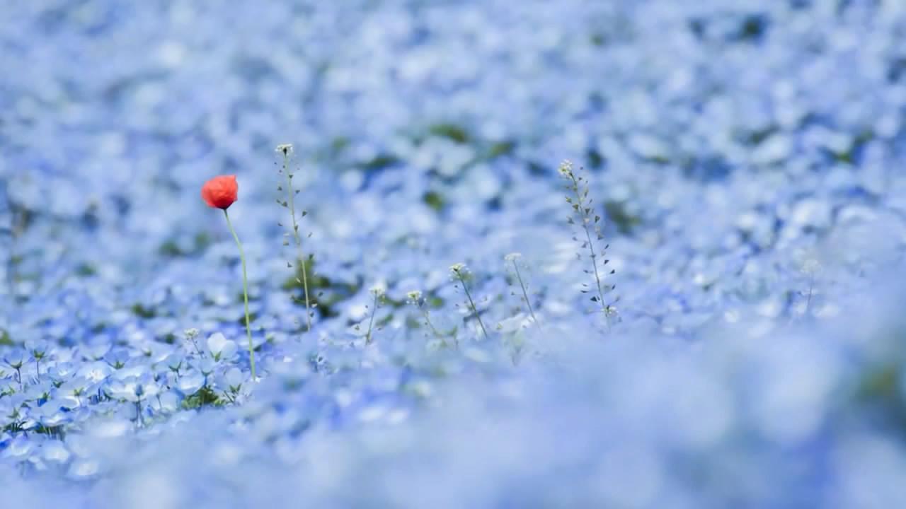 Cánh đồng hoa xanh Hitashi - Điểm du lịch