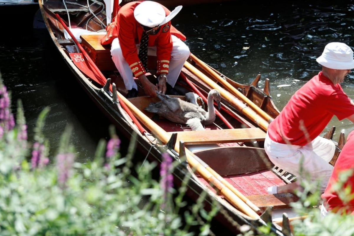 Khi hết trở thành món ăn, thiên nga trên sông Thames có riêng lễ hội cho mình - 2