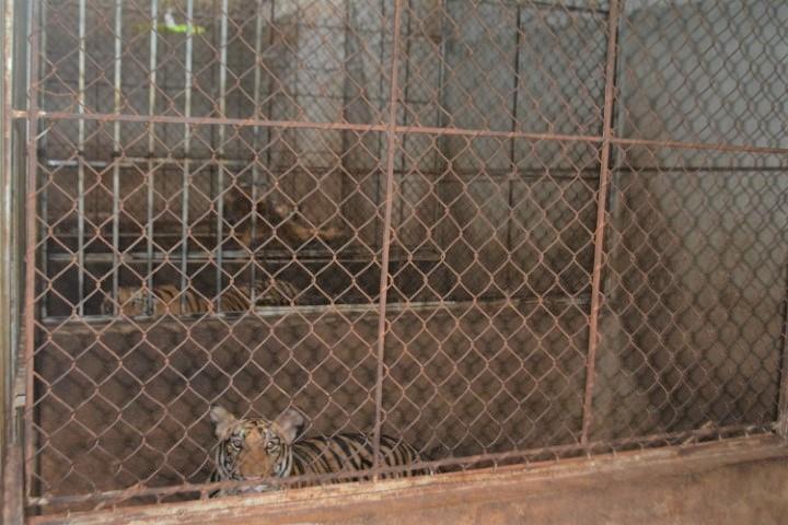 Hai gia đình xây tầng hầm nuôi 17 con hổ: Chính quyền địa phương nói gì? - 1