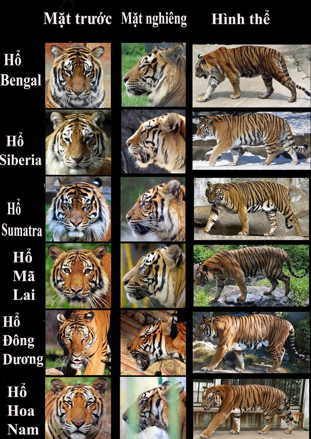Vụ xây hầm nuôi nhốt trái phép 17 cá thể hổ ở Nghệ An, đây là loài hổ gì? - Ảnh 4.