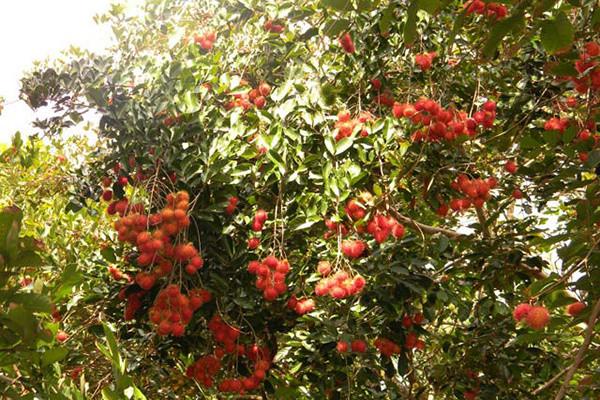 Hậu Giang kêu gọi 'giải cứu' hàng trăm tấn trái cây