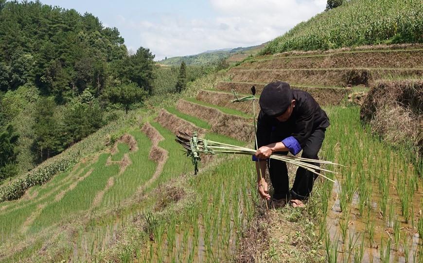Yên Bái: Độc đáo lễ cúng ruộng của người Mông ở Mù Cang Chải - 4